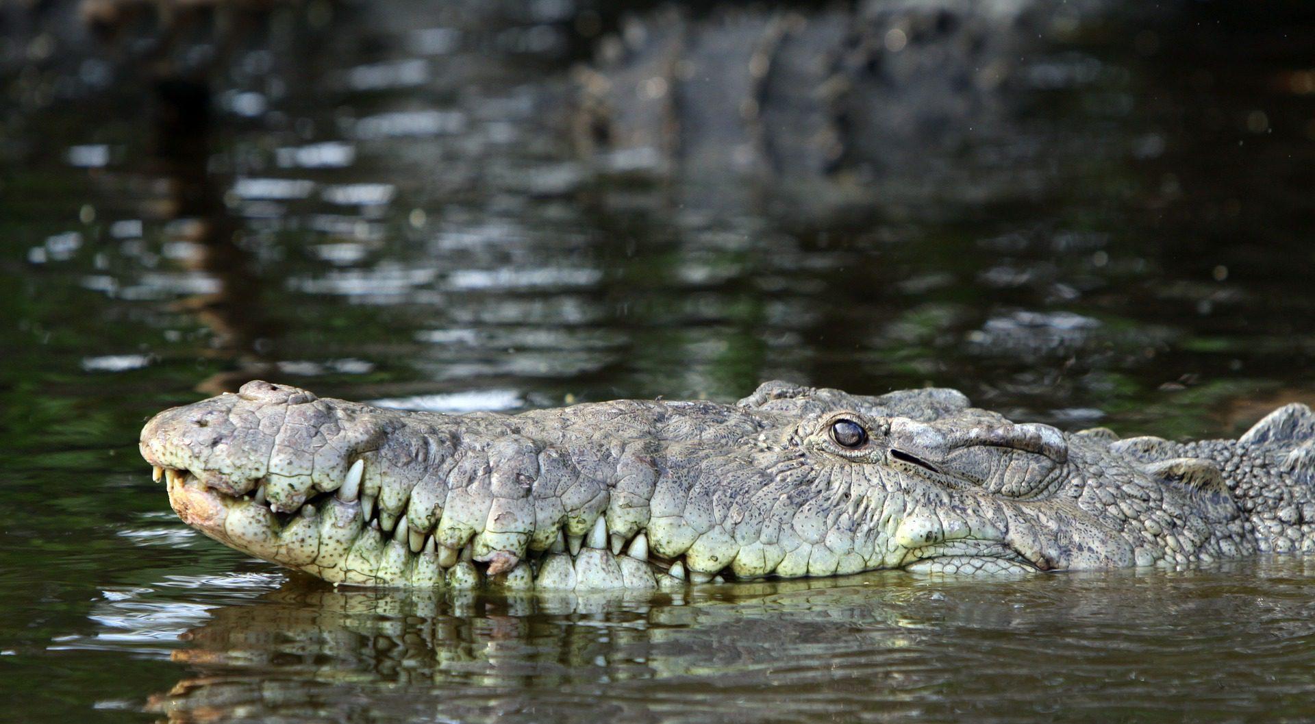 Crocodile San Blas